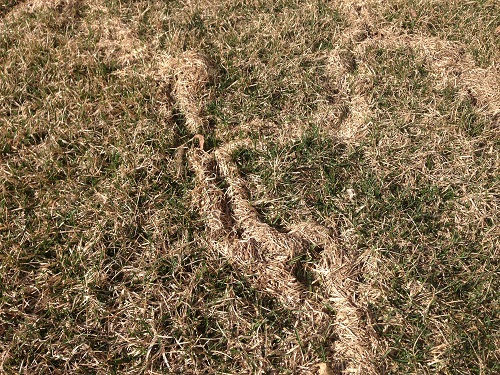 Rodent trails in a Plainfield, IL lawn, 9 April 2014.