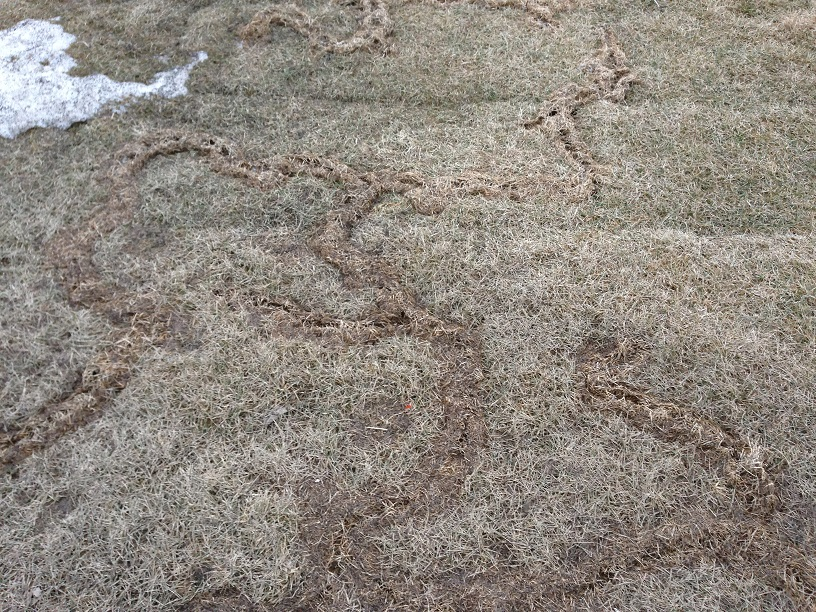 Rodent Trails in a Lawn